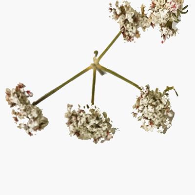 hemp-flower-